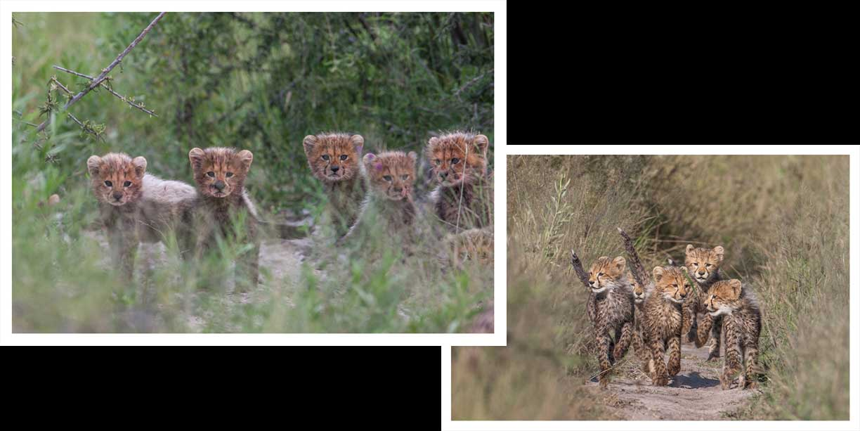 Is 13 an unlucky number when it pertains to cheetah cubs