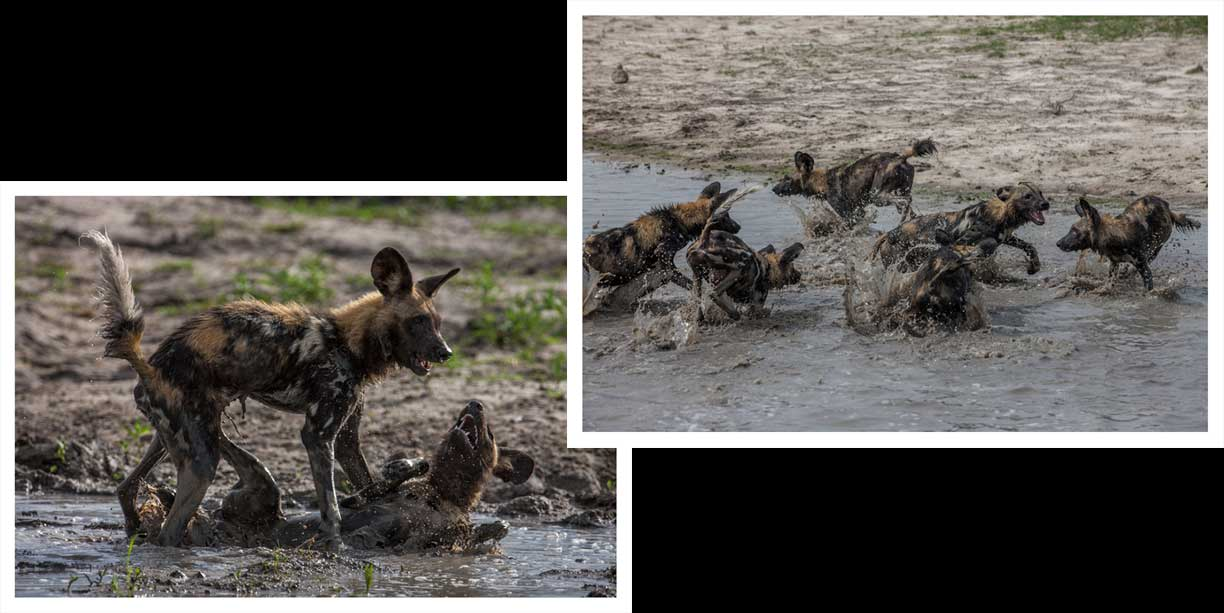 Wild dogs in the rainy season at Chitabe