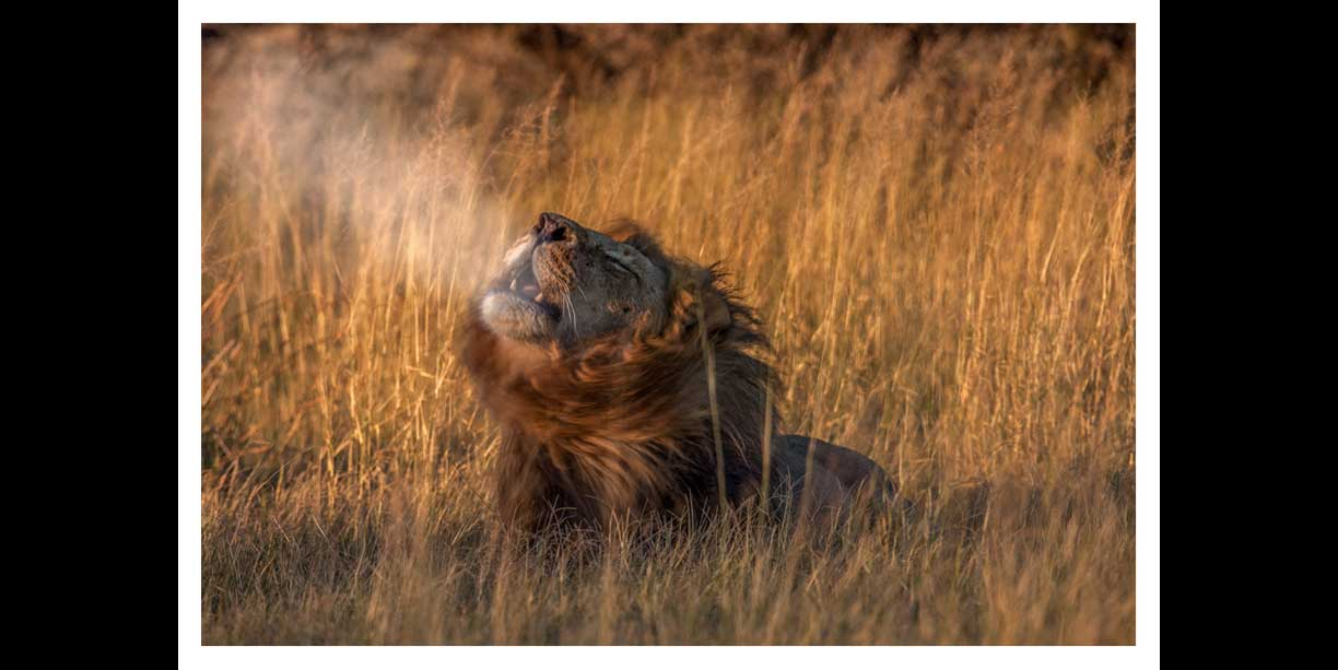 Male lion roar image