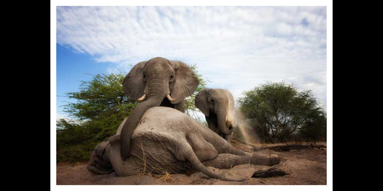 image showing emotion expressed by elephants at the death of another