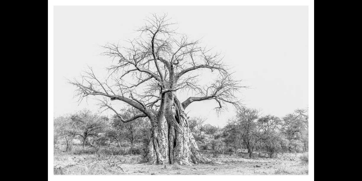 black_and_white_fine_art_print_of_african_baobab