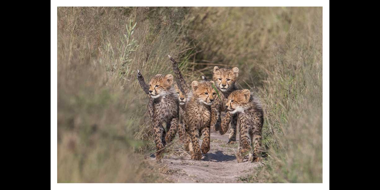 Cheetah cubs at Chitabe safari lodge