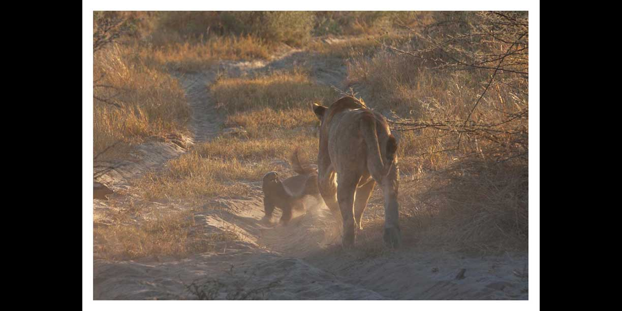 Honey badgers chase off lions