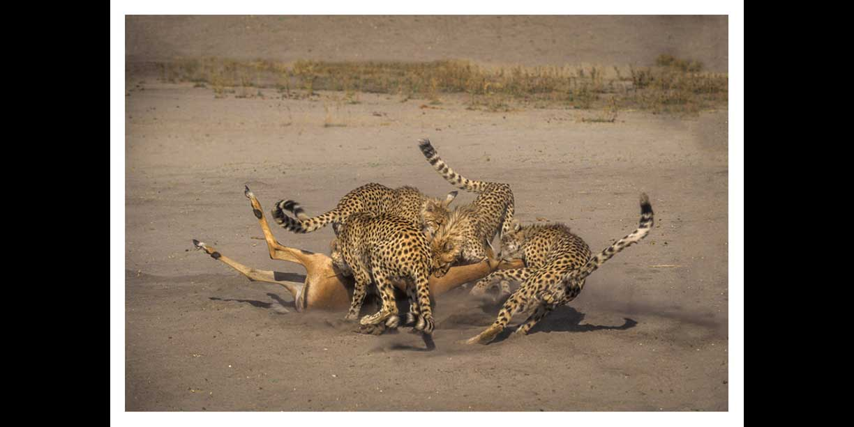How many cheetah to kill an impala?