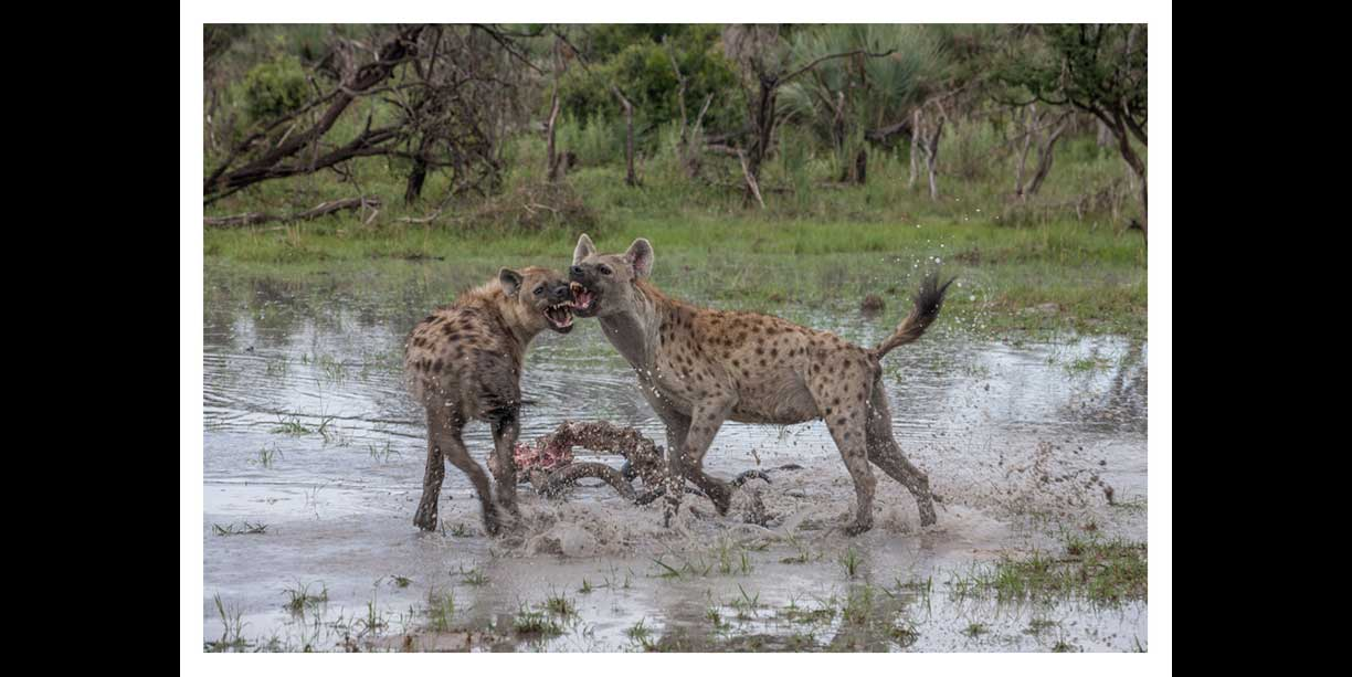 Spotted hyena competition at Chitabe camp in the Okavango Delta