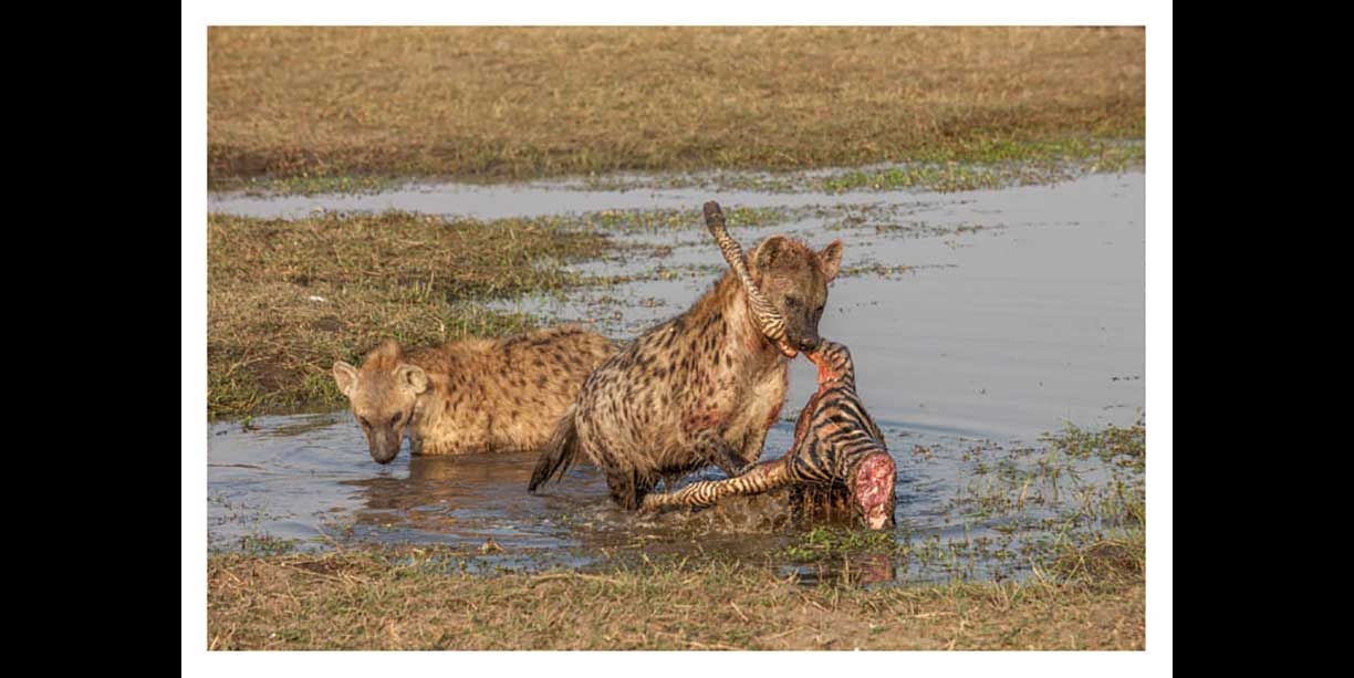 Wildlife photographic image of spotted hyena with zebra kill