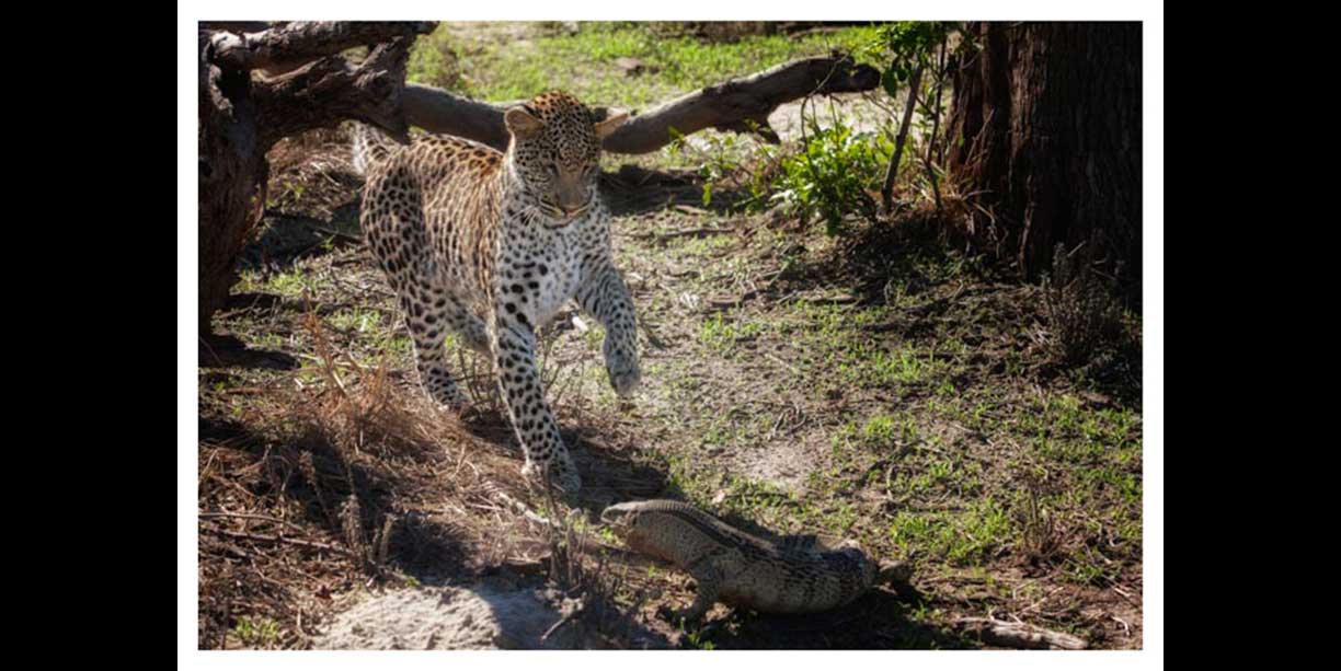Leopard and a monitor face off