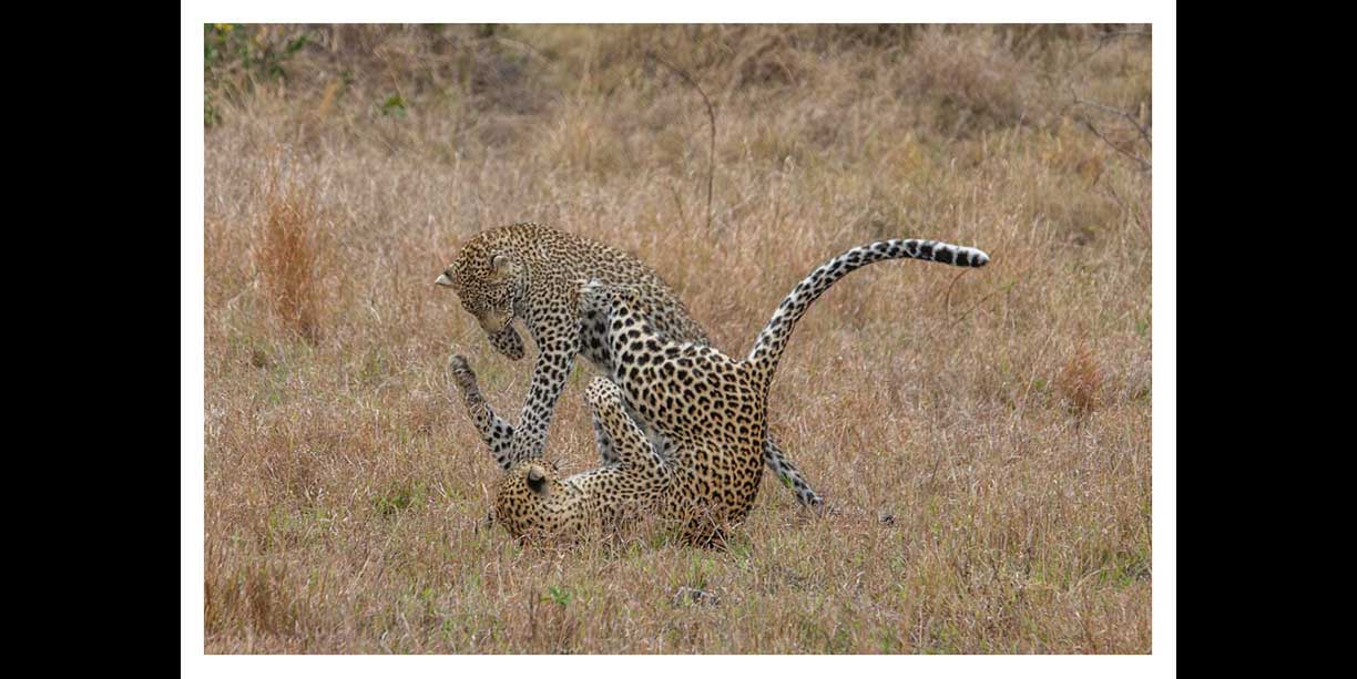Leopards playing tag and ambush
