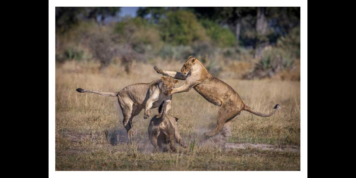 The amazing agility of lions