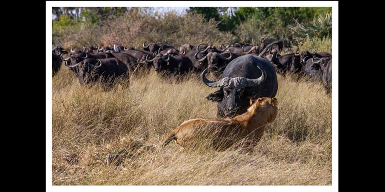 Lions learning to hunt Buffalo the hard way