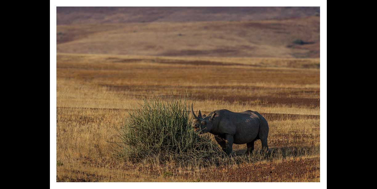 Rhino feeding on toxic bush to survive