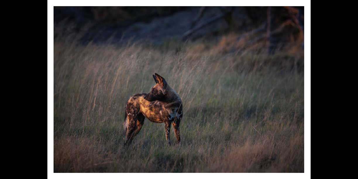 Wild dogs at first light