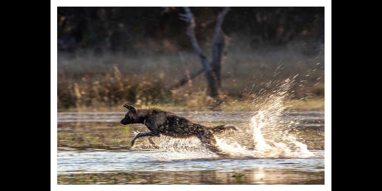 Wild dog hunting through water in the Okavango at Chitabe camp.