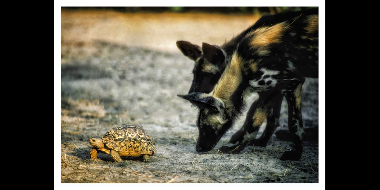 Endangered wild dog pups play with tortoise