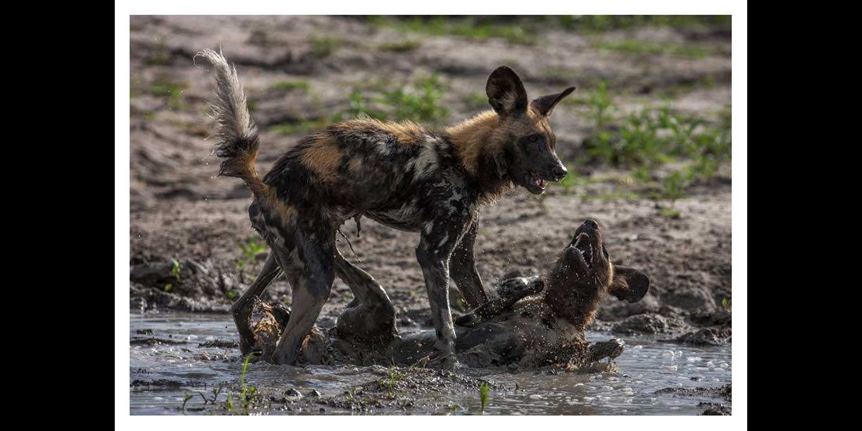 African painted dogs playing in water