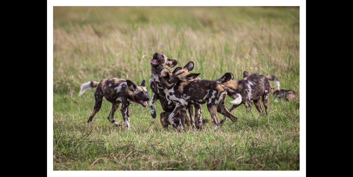 African painted dog puppies playing