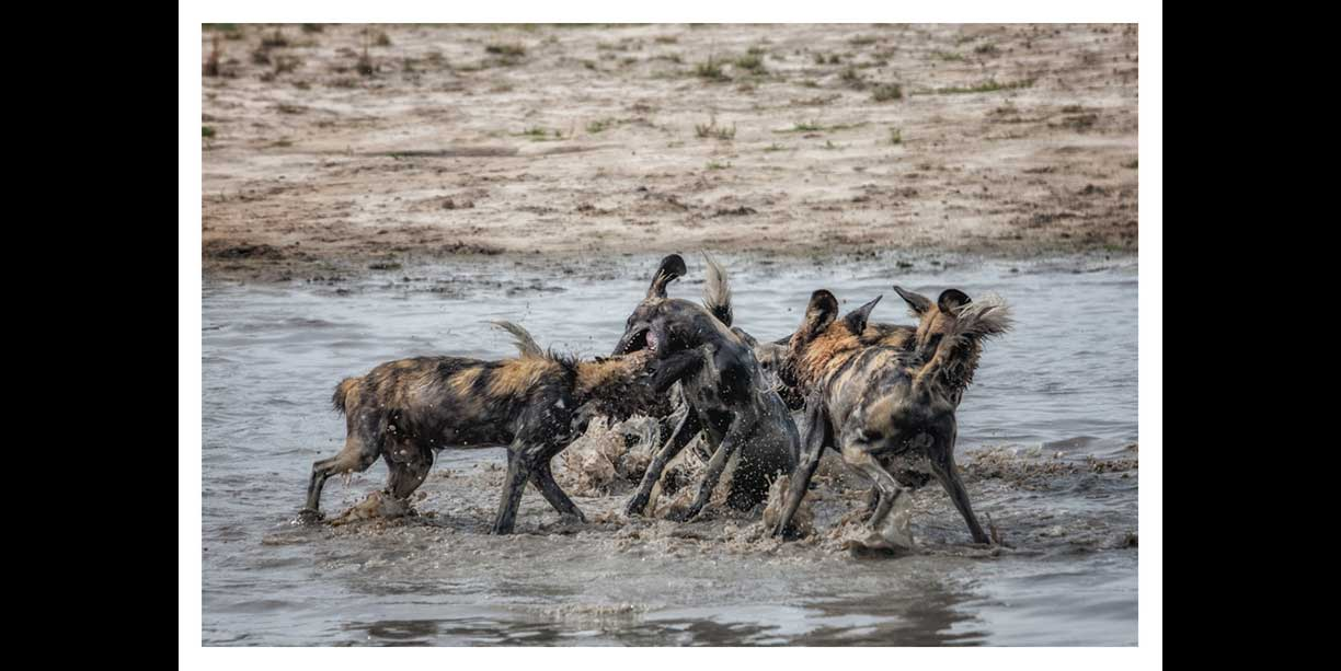 African Painted dogs playing in water at Chitabe safari lodge in the Okavango