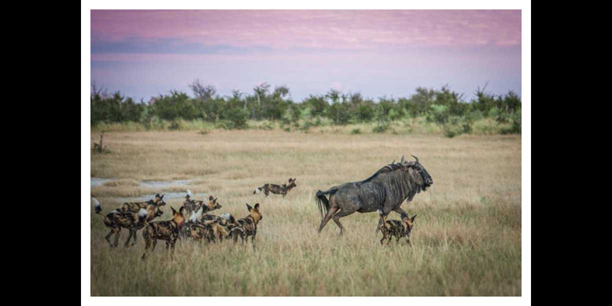 African Wild dogs playing with Wildebeest