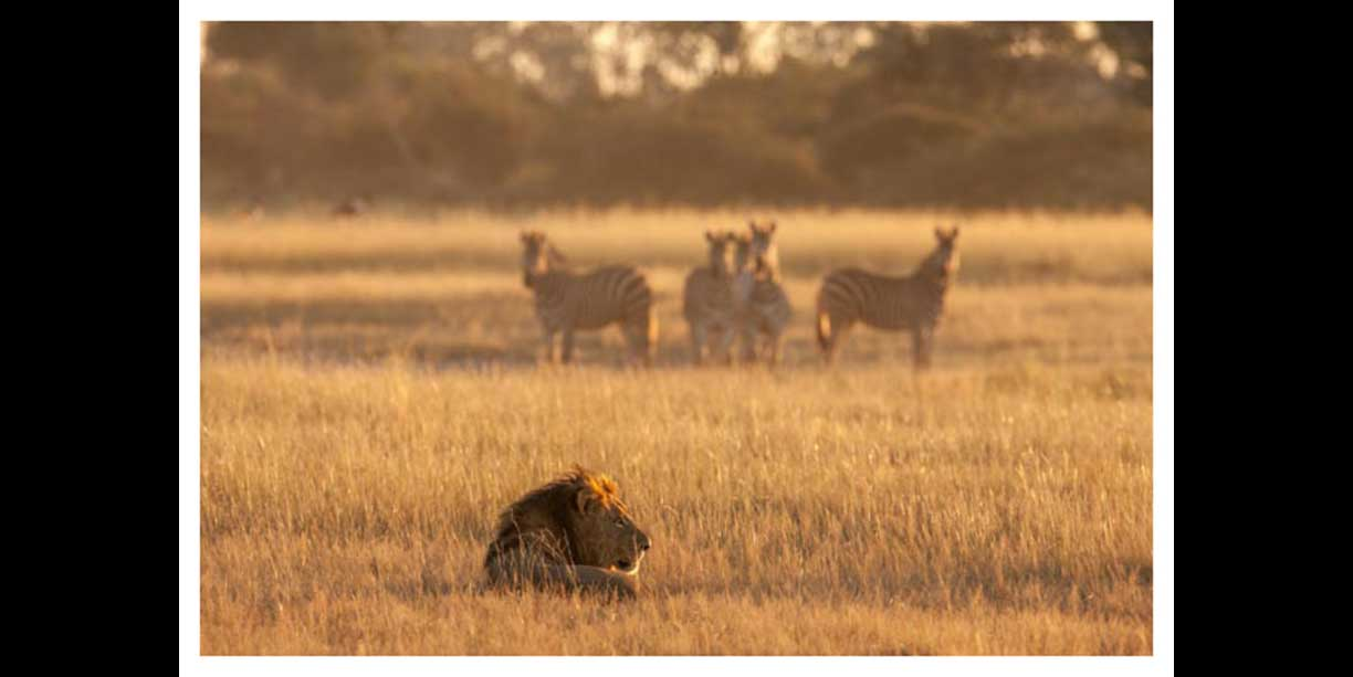 Zebras watching pride male lion