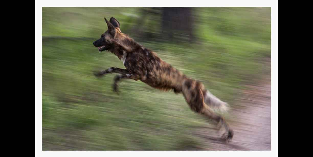 African wild dog leaping in pursuit