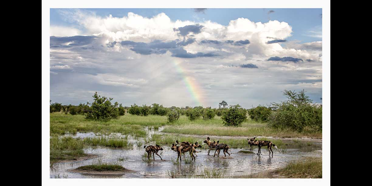 african_wild_dog_or_painted_dogs_playing_in_water​_with_rainbow