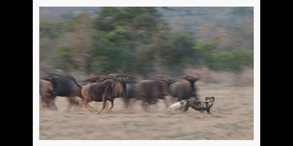 African Wild dog harassing wildebeest (or is it the other way around)