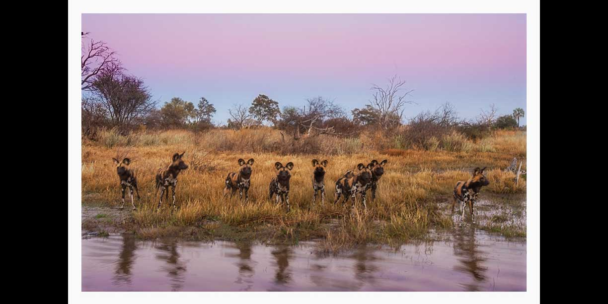 image of wild dog or painted dogs as they pause at the waters edge before sunrise