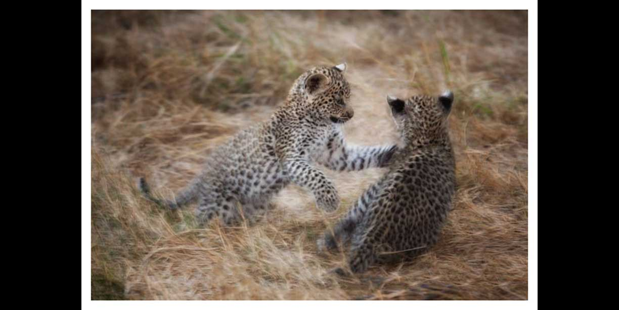 Leopard Cubs Playing