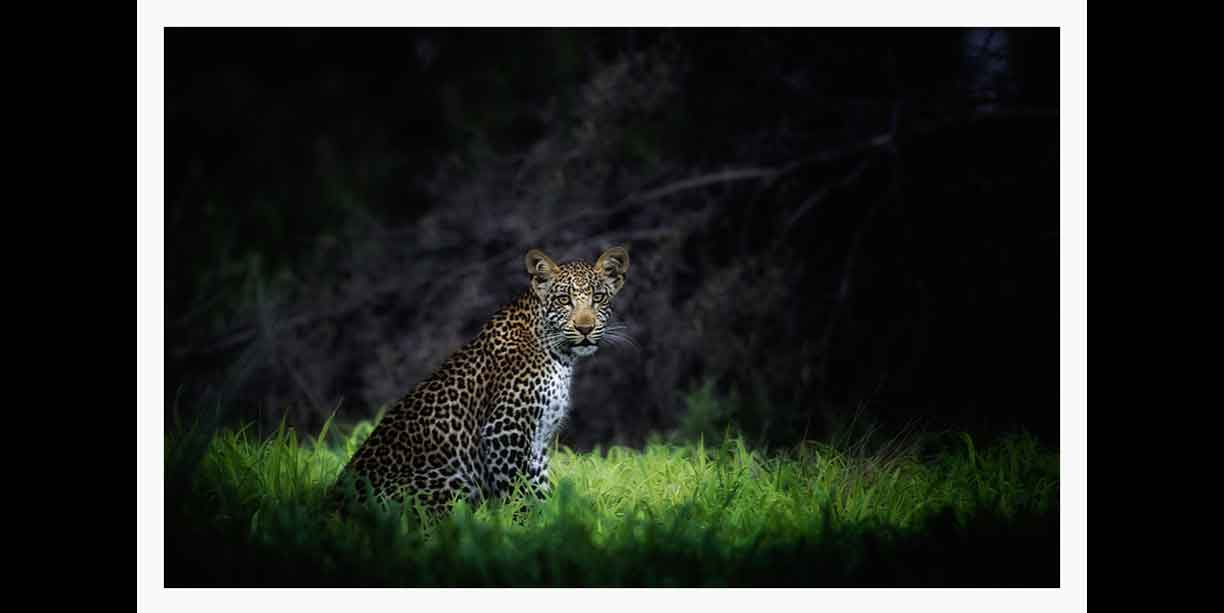 Leopard in shaft of light