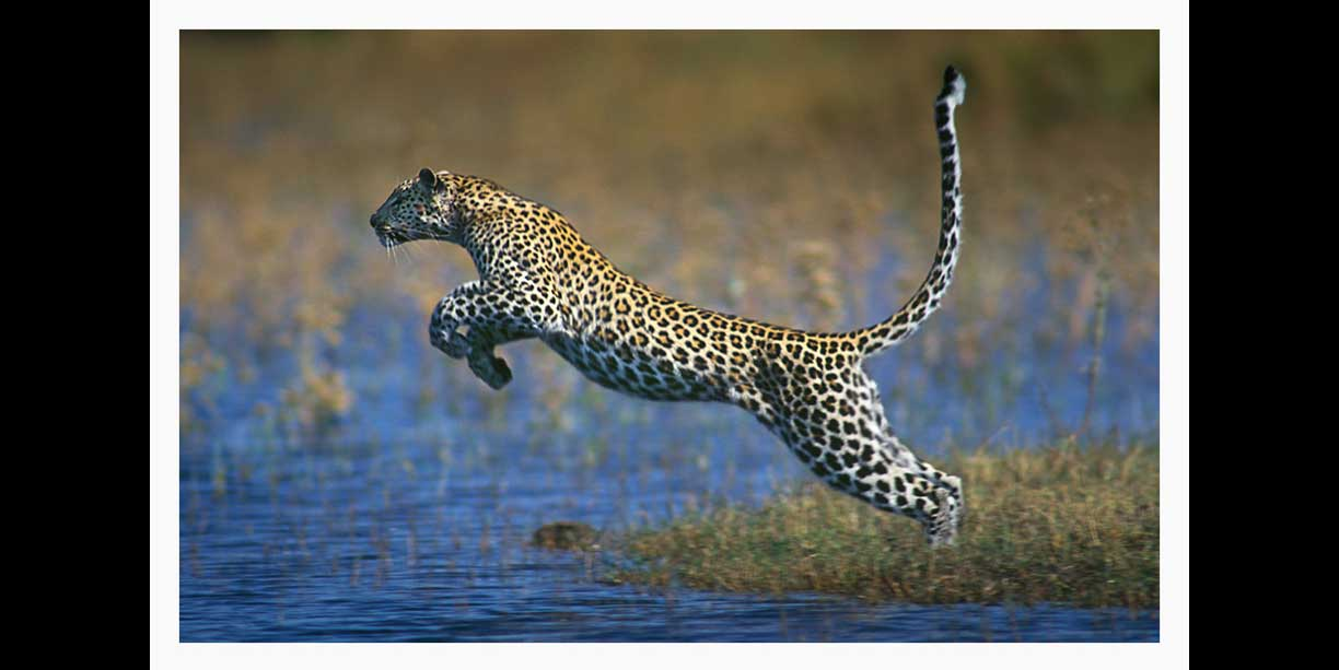 image_of_leopard_leaping_over_water