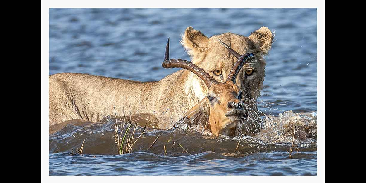 dramatic_moment_as_a_lion_kill_impala_in_water