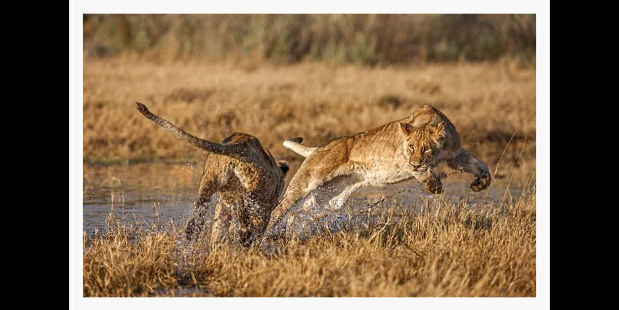 Lions playing ambush and tag in water