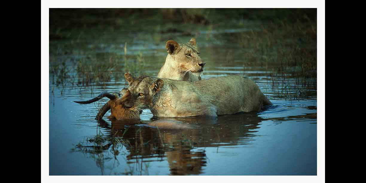 Lions kill in water