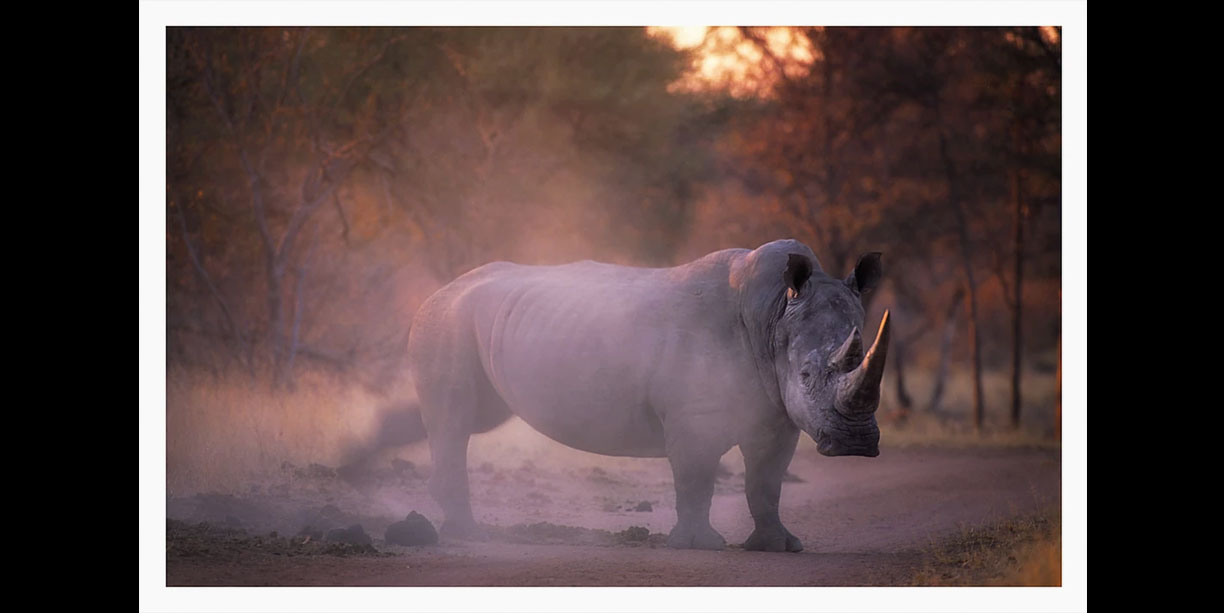 White rhino scatters dung