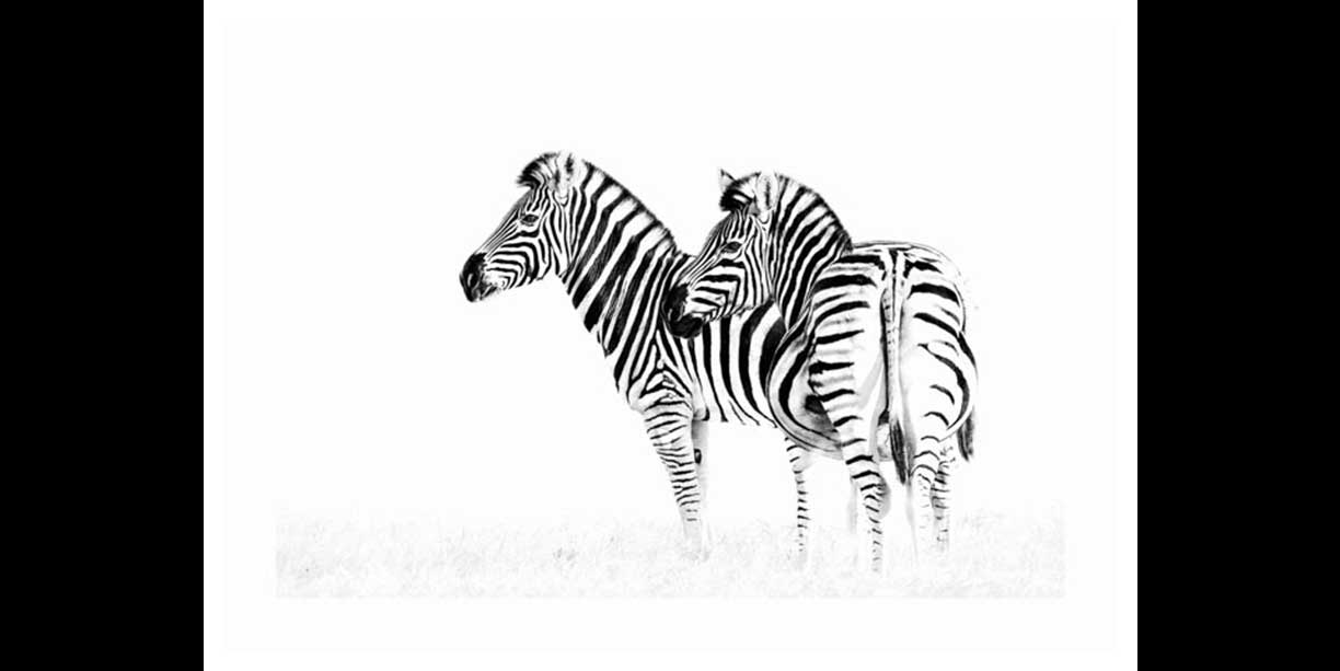 B&W wildlife print of zebra
