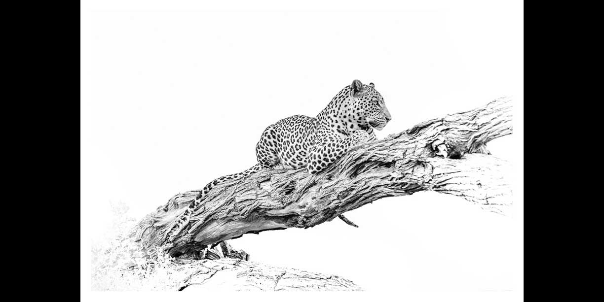 BW fine art print of a leopard in a tree