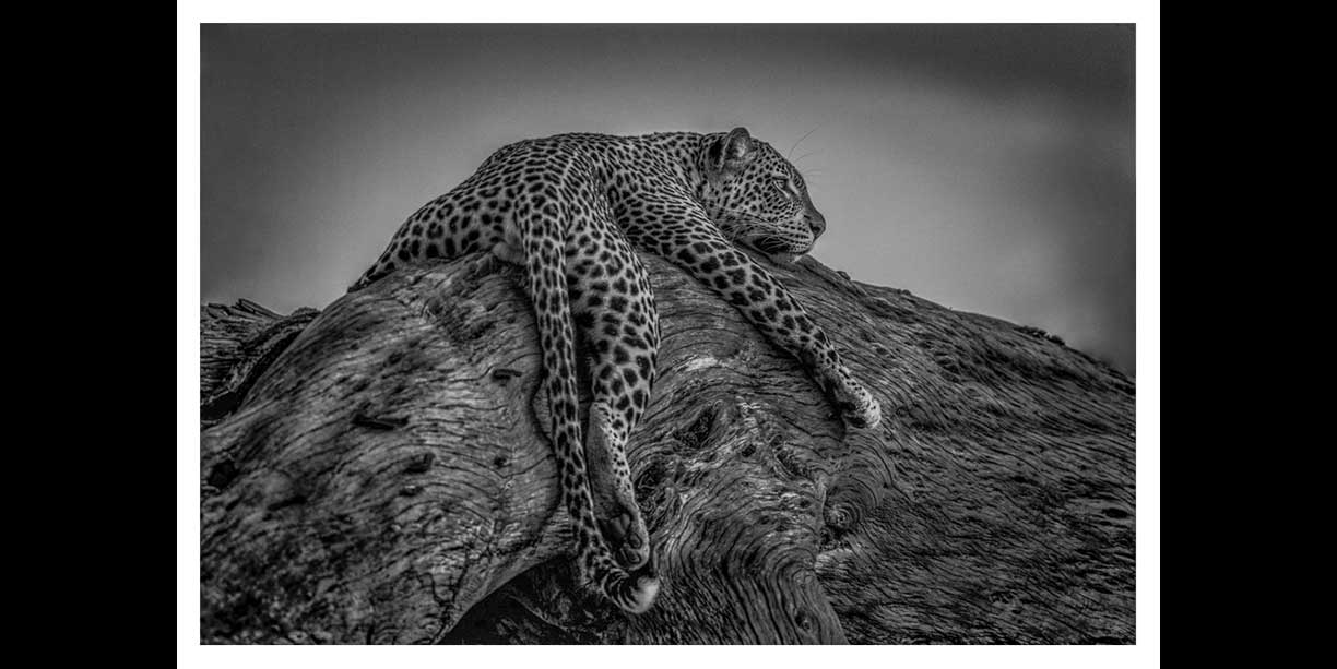 BW wildlife image of a leopard in a tree