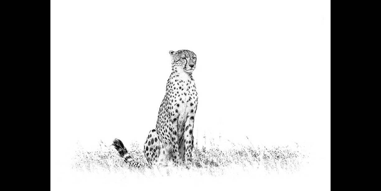Graphic Black and white fine art print of a cheetah