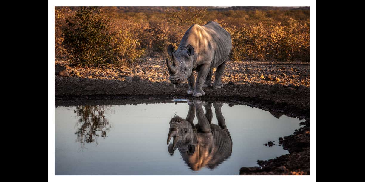 color print of a desert Black rhino drinking
