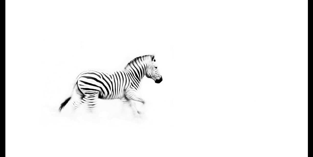 Black and white image of a zebra on the run