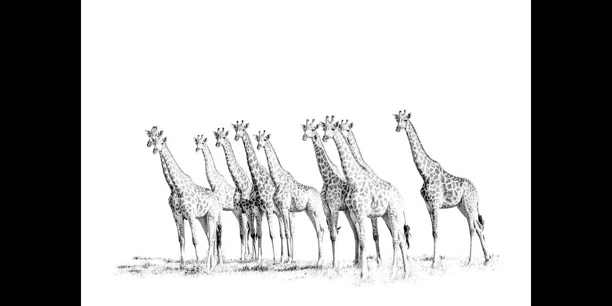 Black and white wildlife image of a journey of giraffe