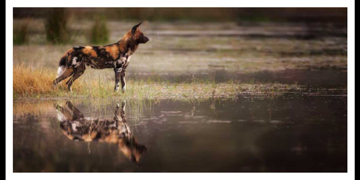 Color image of a wild dog's reflection in water