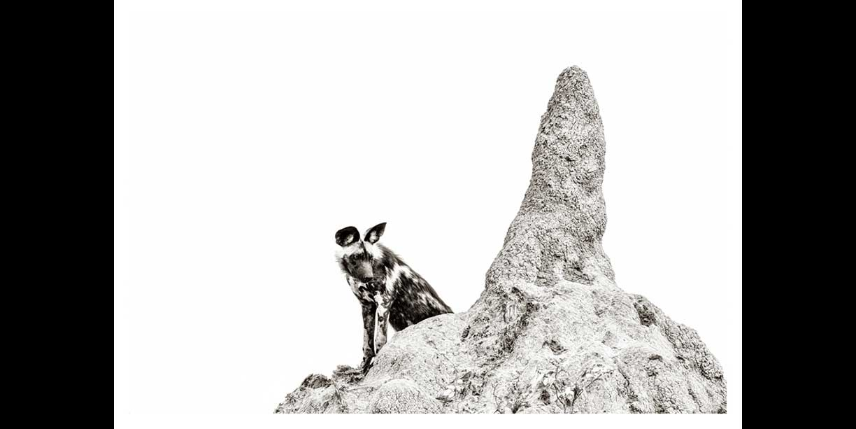 African Painted dog on termite mound