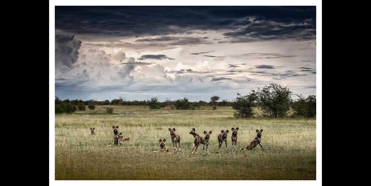 A pack of African Wild Dogs under a dramatic African sky