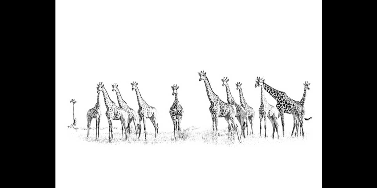 A group of giraffe on an open plain