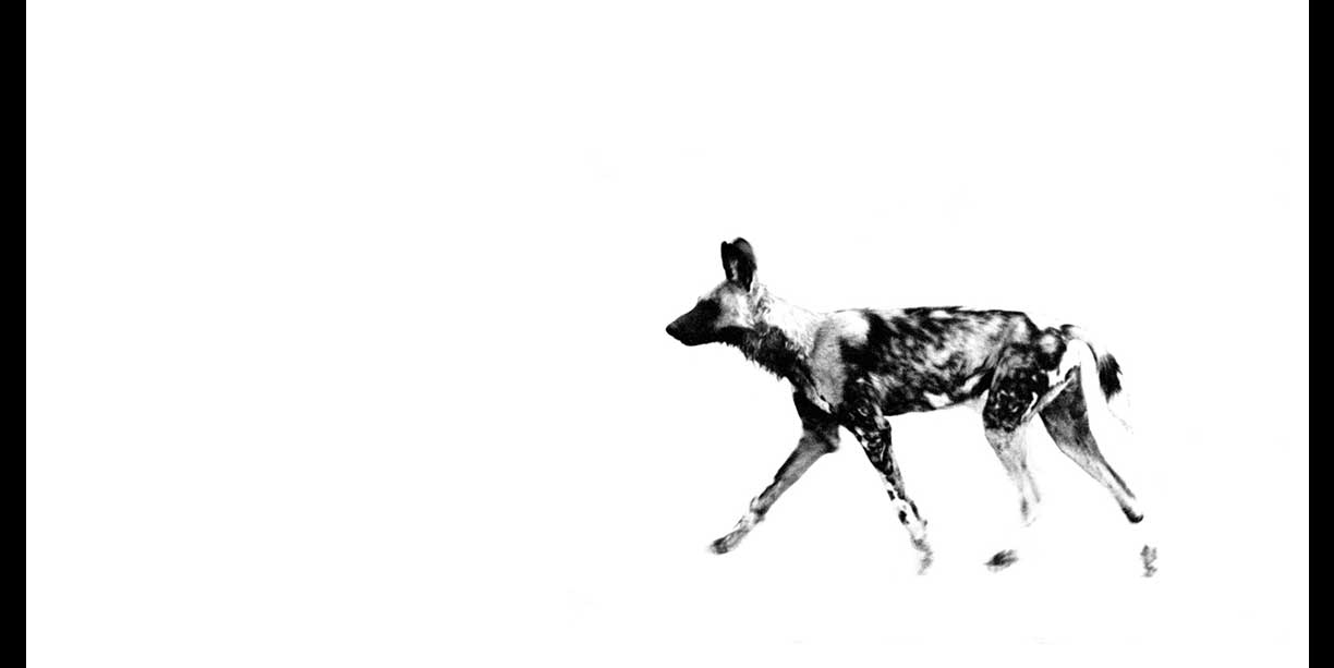 Print of African Wild dog