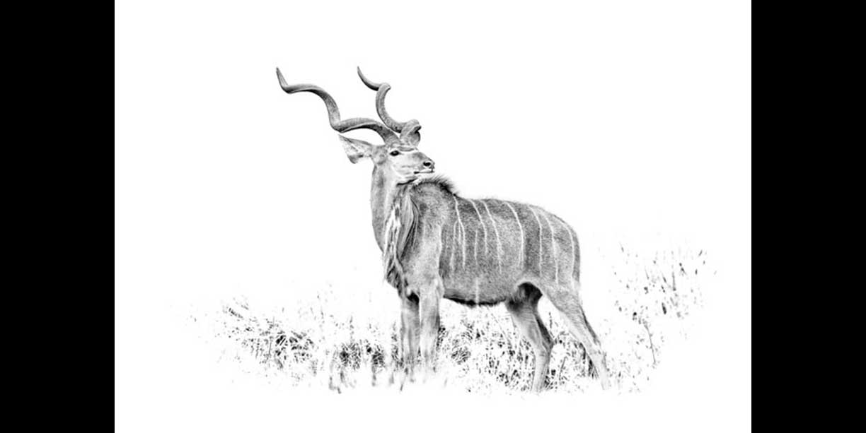 Impressing Greater Kudu Bull