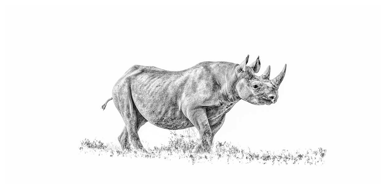 Rare desert adapted black rhino