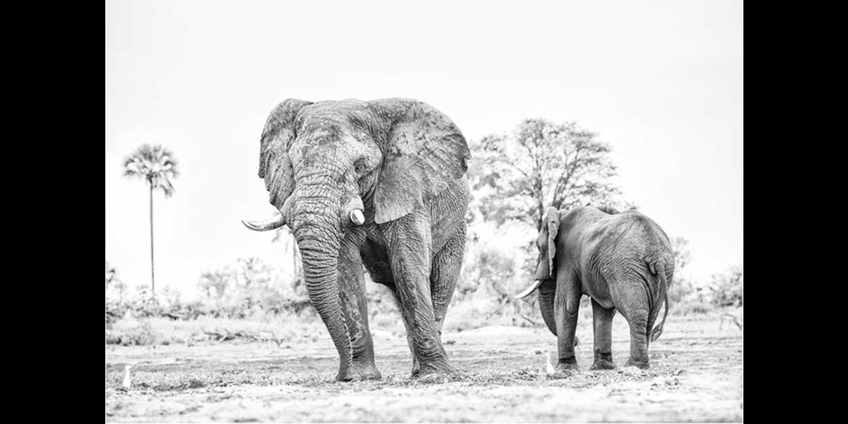 Black and white print of elephant bulls feeding