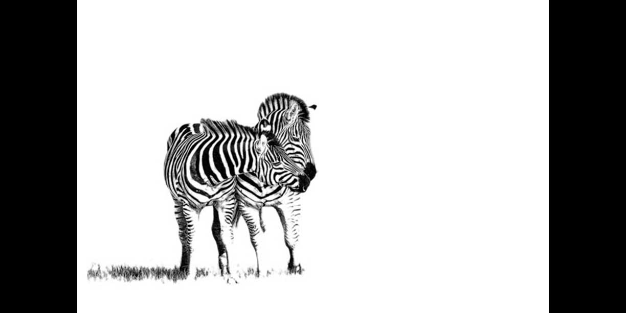 black_and_white_print_of_zebra